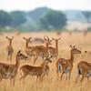 herd of young kob