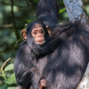 happy baby chimp clinging to Mom