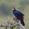 Ross's turaco in rain near Lake Mburo