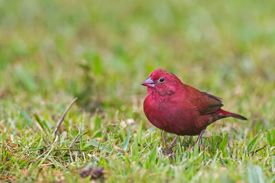 African firefinch Entebbe