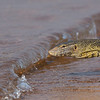wave curling up to Nile monitor lizard