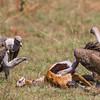 kob carcass being eaten by Ruppell's Griffon vulture