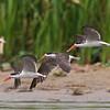 three African skimmers in flight