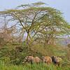 three elephants under an acacia