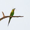 blue-cheeked bee-eater w dragonfly