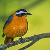 white-browed robin-chat Entebbe