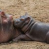 snuggling baby hippo w mother