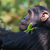 profile freckle-faced chimp Kibale