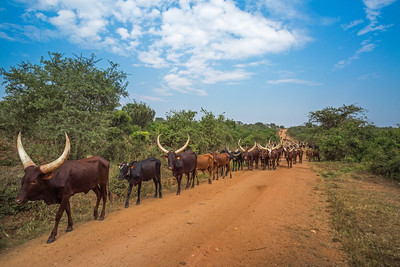 Ankole-Watusi longhorn cattle red road blue sky