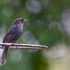 fork-tailed drongo on ring