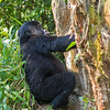 gorilla youth climbning a dead tree