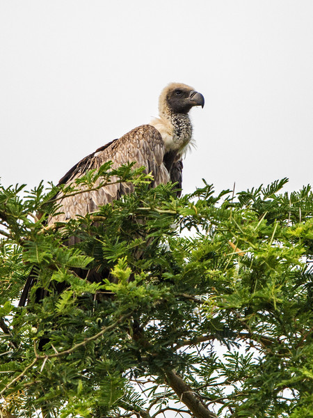 African white-backed vulture on treetop