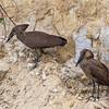two hammerkops