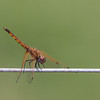 orange dragonfly on wire Ngamba