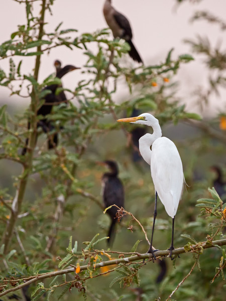 great egret w cormorants in background