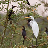 great egret w cormorants in background