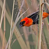 red bishop w grass in beak