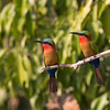 two red-throated bee-eaters Murchison