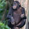 chimp w fruit Ngamba