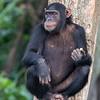 chimp w fruit Ngamba