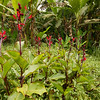 red wild canna lily on vanilla plantation