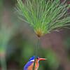 papyrus w malachite kingfisher