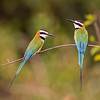 white-throated bee-eaters on vine QE National Park