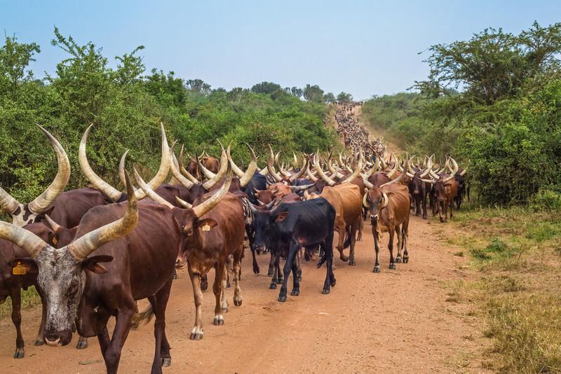 herd of Aknole-Watusi longhorn cattle on road