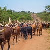 herd of Aknole-Watusi longhorn cattle on road