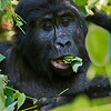adult gorilla chewing folded leaves