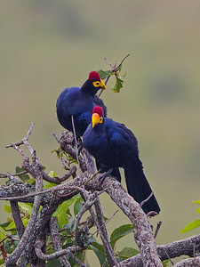 2 Ross's turacos in rain