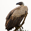white-backed or Ruppell's Griffon vulture