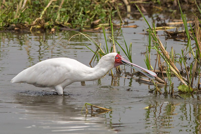African spoonbill stretching