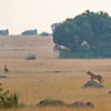 lion on rock & vigilant impala