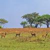 kob near acacias