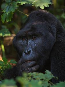 stroking chin silverback gorilla