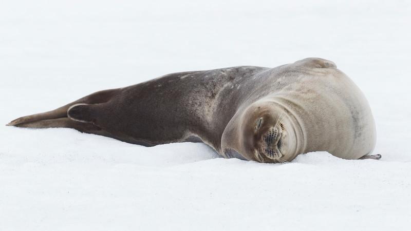 Crab-eater Seal