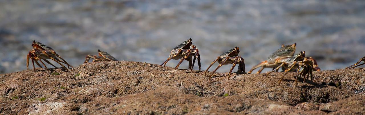 Grapsus Crab