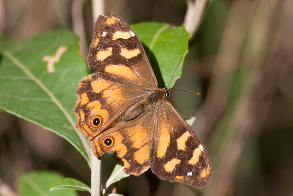 Solander's Brown Butterfly