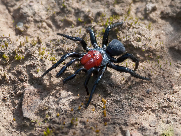 Red-headed Mouse Spider