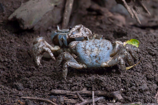 Christmas Island Blue Crab