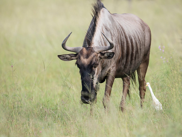 Blue Wildebeest & Western Cattle Egret