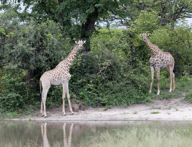 Southern Giraffe