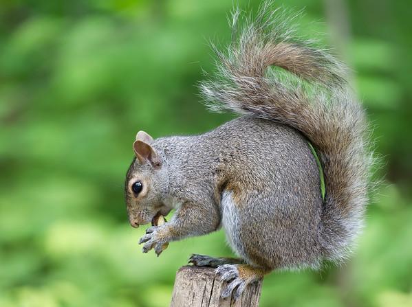 Eastern Grey Squirrel