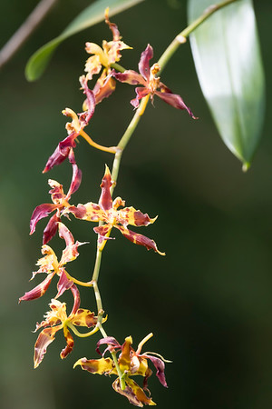 Unidentified Orchid