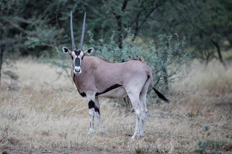 East African Oryx (Beisa)