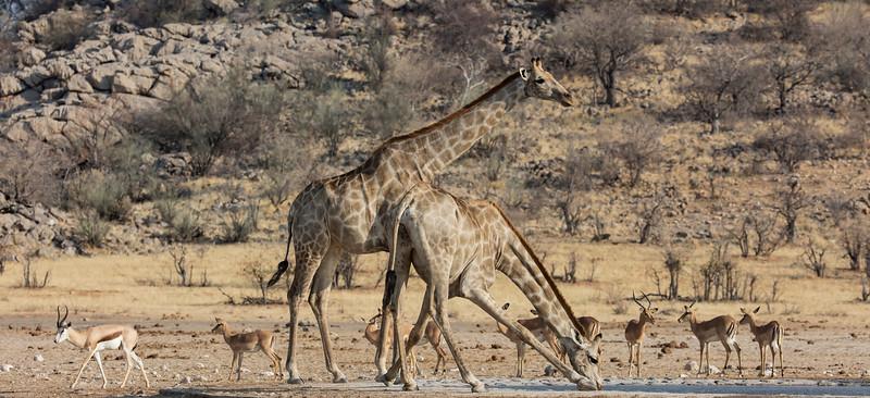 Southern Giraffe, Black-faced Impala & Springbok