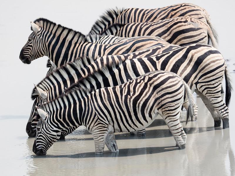 Burchell's (sub-species of Plains) Zebra