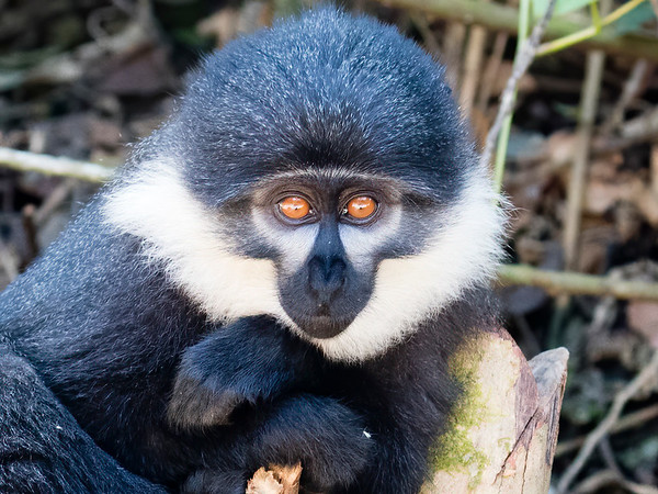 L'Hoest's Monkey