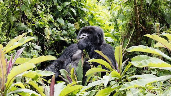 Mountain Gorilla (Eastern Gorilla)
